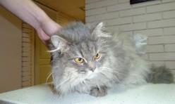 Найден котик — персидский!