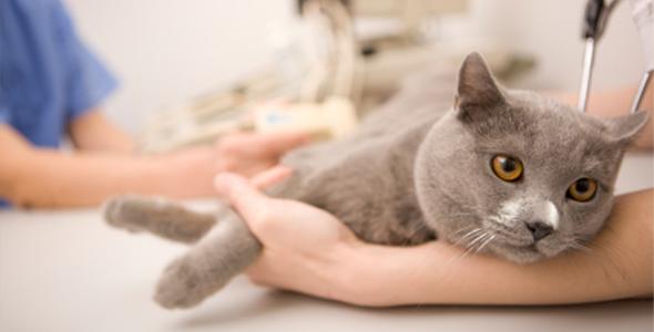 Ринотрахеит кошек. Диагностика, лечение, профилактика.